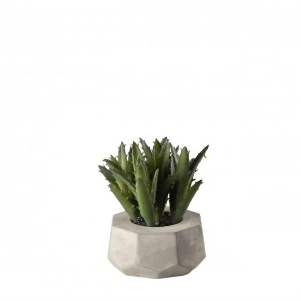 ASA Sukkulente im Blumentopf - 8 cm